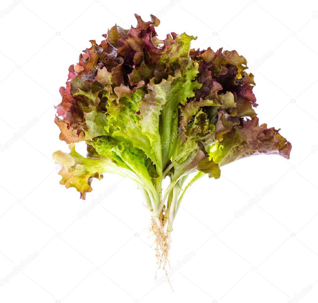 Red salad Lola. Studio Photo