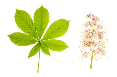 Green leaves and chestnut tree inflorescence isolated on white.