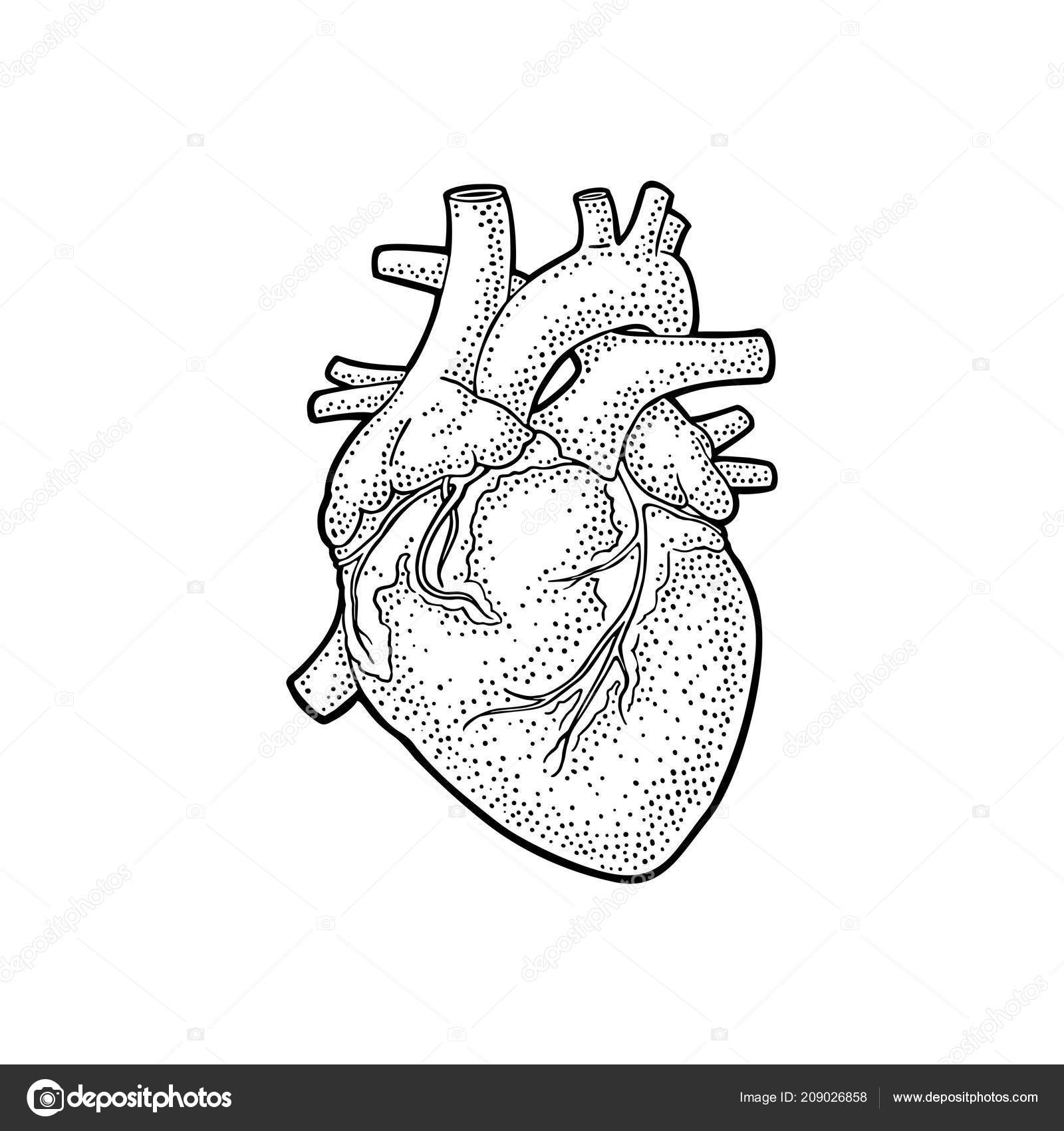 human anatomy heart vector black vintage engraving illustration Circulatory System Diagram human anatomy heart vector black vintage engraving illustration isolated white stock vector