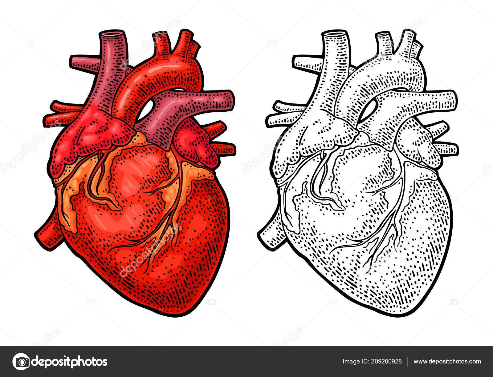 Human Anatomy Heart Vector Black Color Vintage Engraving ...