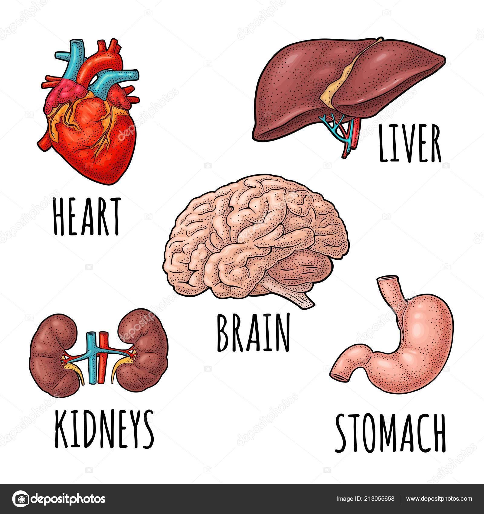 Human Anatomy Organs Brain Kidney Heart Liver Stomach Vector Color