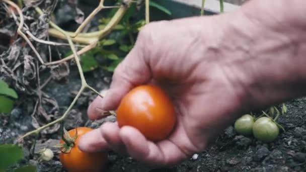 Eine Bäuerin erntet Tomaten. Frauenhände pflücken im Sommer frische Tomaten.