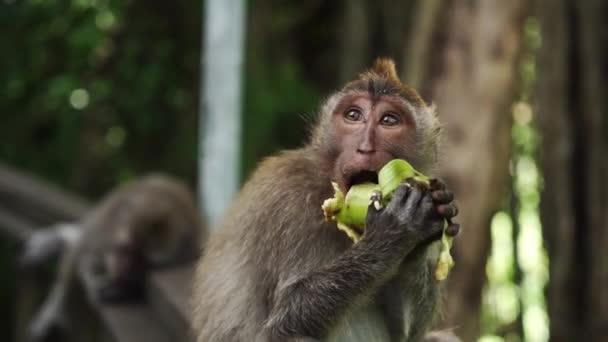 Egy hosszú farkú balinéz majom portréja, amint a földön ülve friss kukoricát eszik egy természetes parkban..