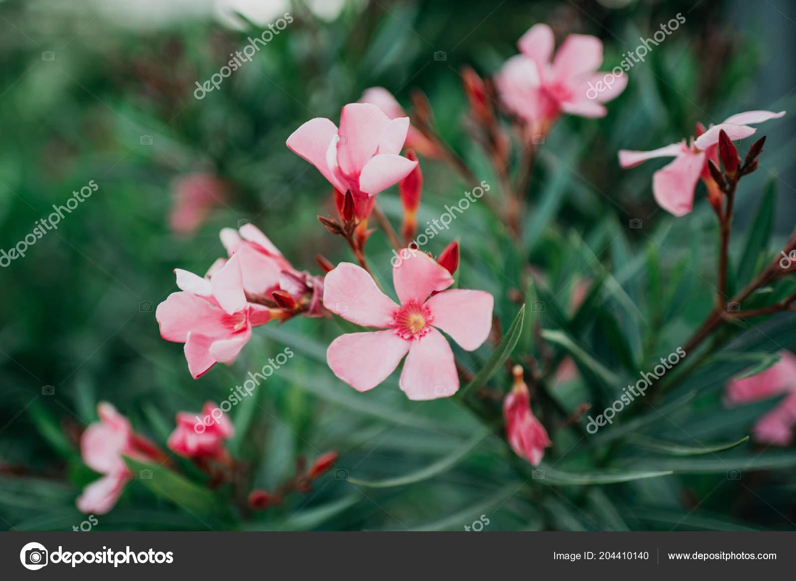 Few Pink Flowers Bush Spain Stock Photo Minchanin 204410140