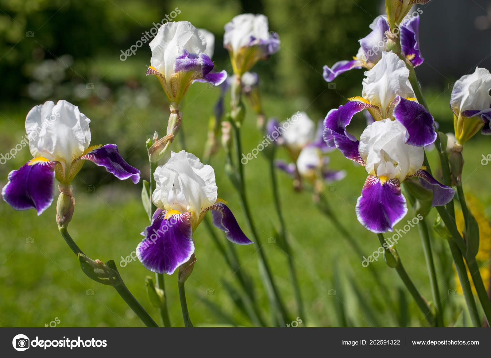 Beautiful Plants Flowers Iris Iris Germanica White Violet Colors