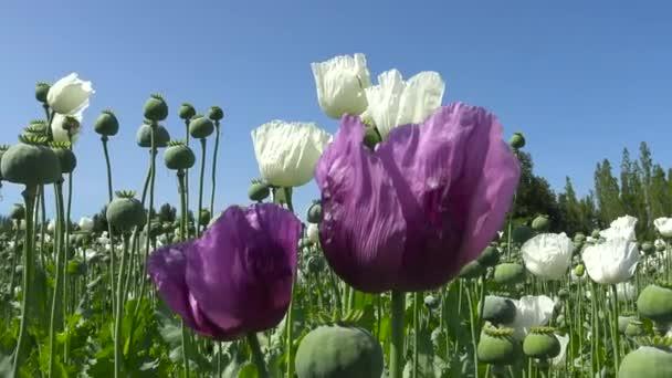 Ópium mák virágok. Mák mező. Törökország.