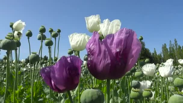 Opium poppy flowers. Poppy field. Turkey.