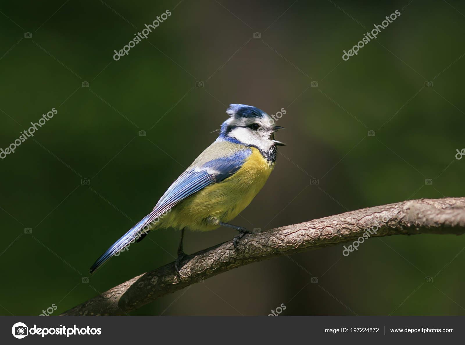 Милая птица синица поет красивую песню саду весной ветке мае.