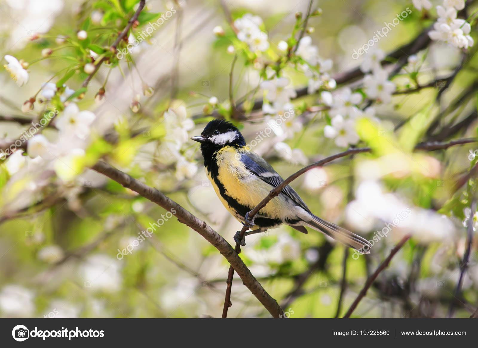 Фото: птица синица хохлатая. Хохлатая синица птица — стоковое фото.