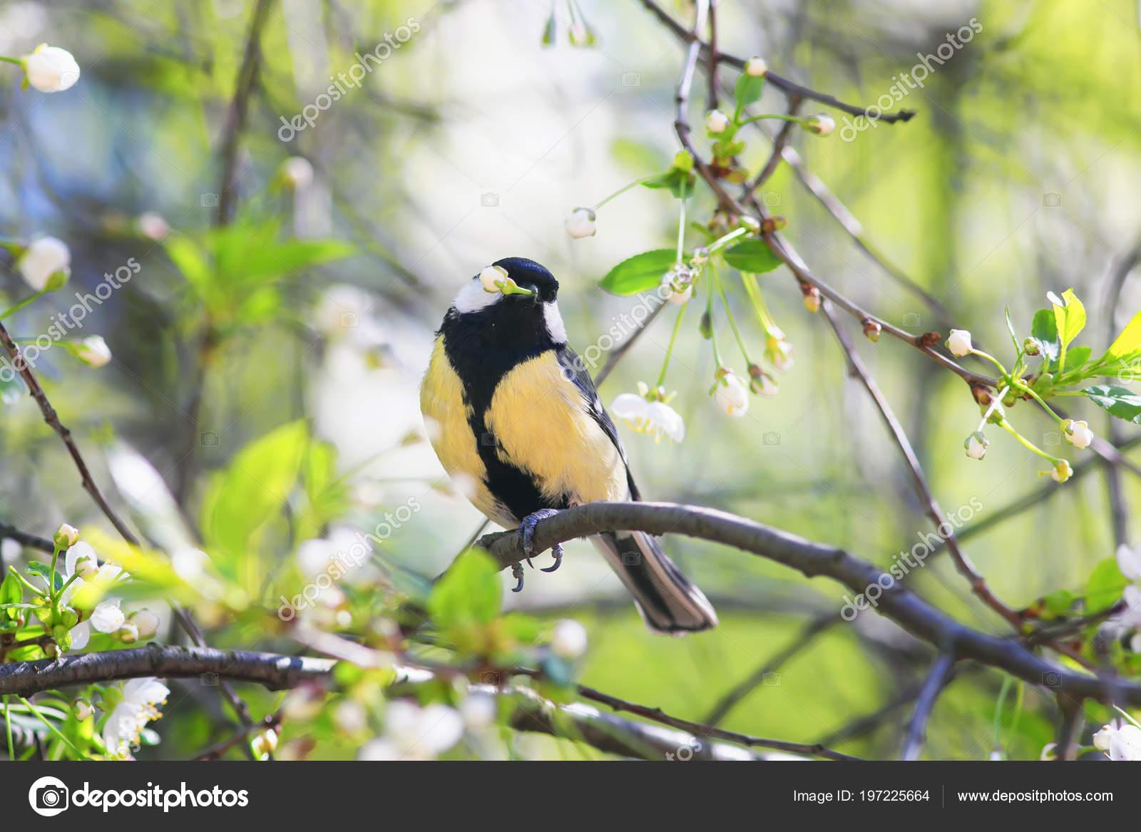 Cute Bird Tit Sitting Garden Cherry Branch White Spring Flowers