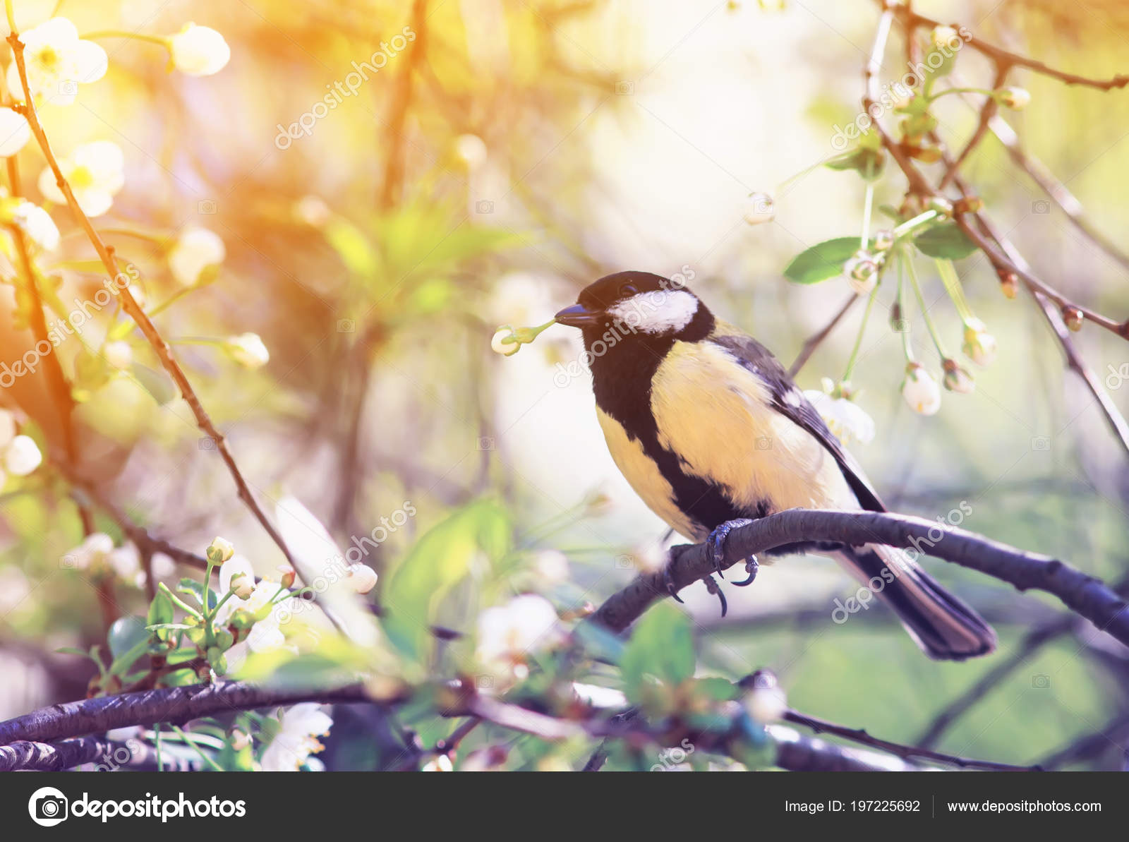 Милая птица синица сидя саду ветку вишни белые весенние цветы.