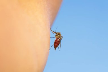 in nature nasty and dangerous insect mosquito greedily dug into the skin and sucks blood leaving itching and pain