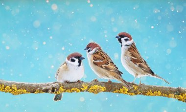 three funny Sparrow birds are sitting on a branch in the winter holiday Park during the snowfall