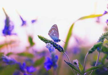 beautiful little butterfly pigeon flew on a summer meadow and sits surrounded by blue and purple flowers and the rays of the sunset warm sun