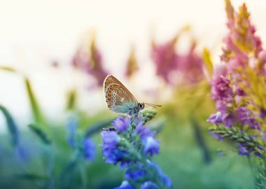 beautiful little butterfly  sitting on a summer glade surrounded by blue flower on a Sunny day