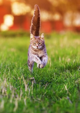 striped young cat runs fast on a bright green summer meadow on a Sunny day with its paws raised high