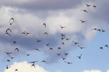 natural background with a numerous flock of black birds migrating starlings flies up blue sky
