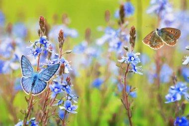 beautiful little golubyanka Icarus butterflies sit and flutter i