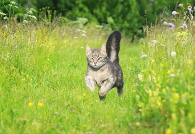 a young striped cat runs gracefully across a green bright meadow