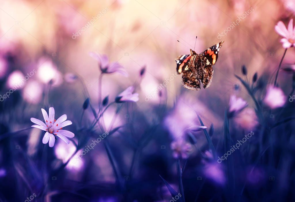 butterfly Admiral flying around tender field flowers
