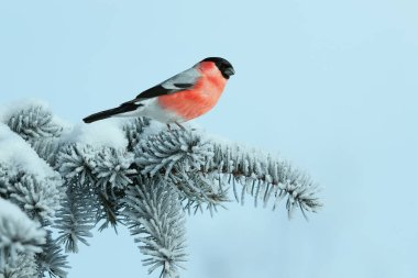 bright bullfinch bird sits on a spruce branch covered with snow