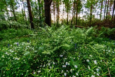 stellaria holostea blooming in the meadow and fern in the forest in spring