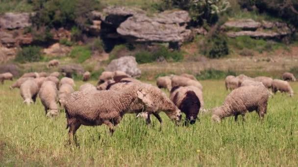 Schafherde auf schöner Bergwiese