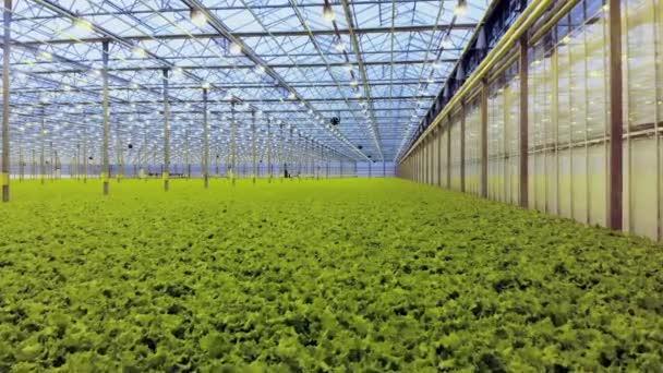 Top view of green fresh salad in hydroponic farm. Modern greenhose. Healthy organic food
