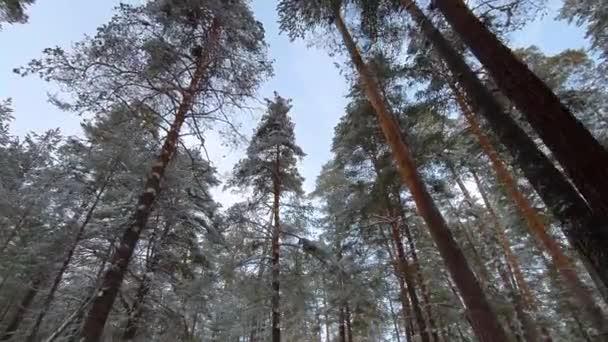 Pohled ze země na oblohu. Nádherný novoroční les. Borovice ve sněhu na pozadí modré oblohy. Fotoaparát s nízkým pohledem pohybující se stromem .