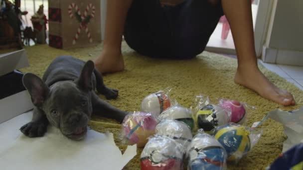 Lassú mozgás, ezen a környéken: ajándék, karácsony napján a Francia Bulldog kiskutya