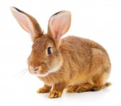 piccolo coniglio marrone isolato su sfondo bianco