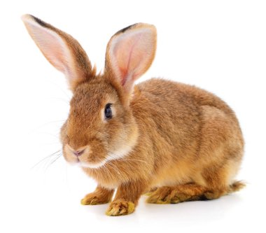Small brown rabbit isolated on white background. stock vector