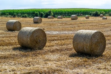 Straw rollers on a mowed field, right after harvest.