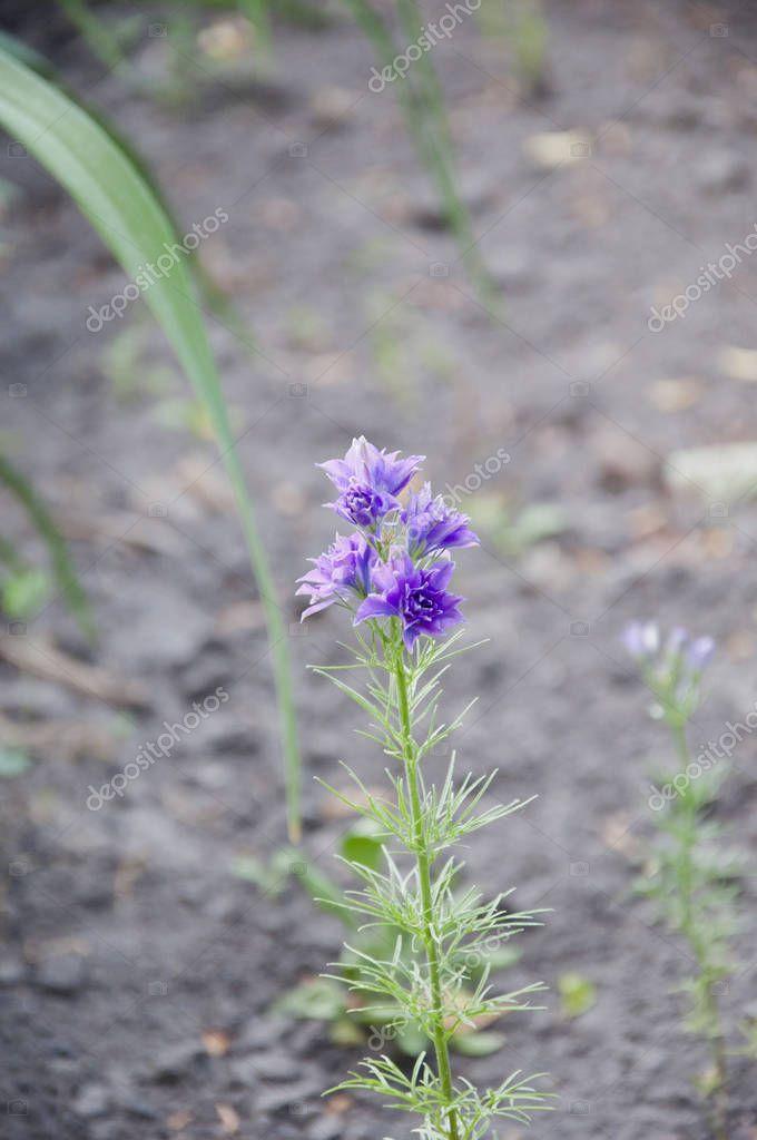 Flowers need good care. Delphinium flower blooming. Delphinium flower candle. spring bloom. nature environment, ecology. summer garden. villatic holiday season. morning. larkspur flowerbed