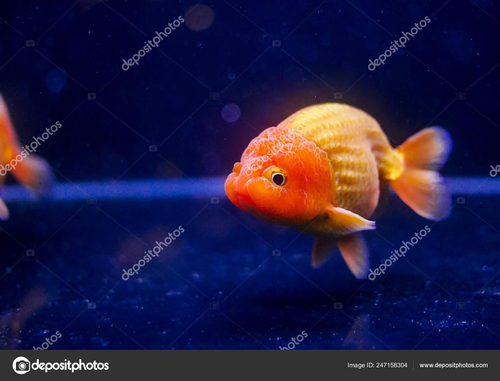 Lion Head Oranda Goldfish Aquarium — Stock Photo © khoamartin #247158304