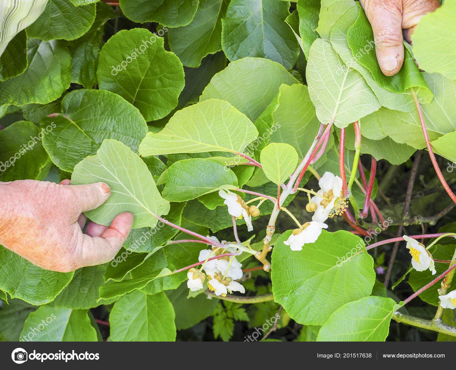 arbre fleurs fruits kiwi dans main jardinier principal france