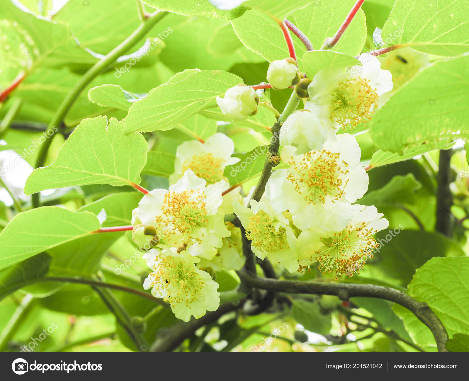 arbre fleurs fruits kiwi jardin france — photographie catherinel