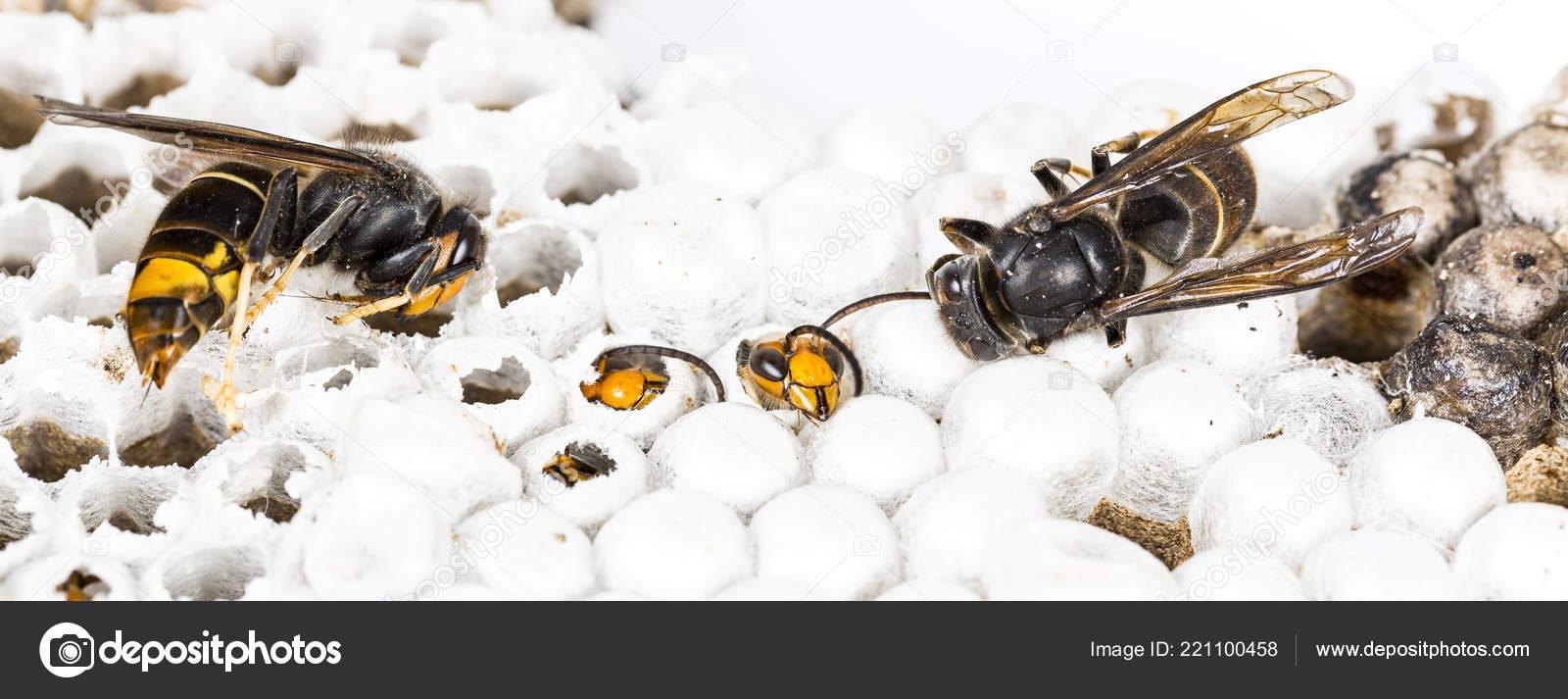 8f633a3a00 Chiuda in su del vivo e testa Vespa calabrone asiatico morto sul nido Nido  d'ape insetto macro. Colonia animale del veleno. Concetto di pericolo nella  ...