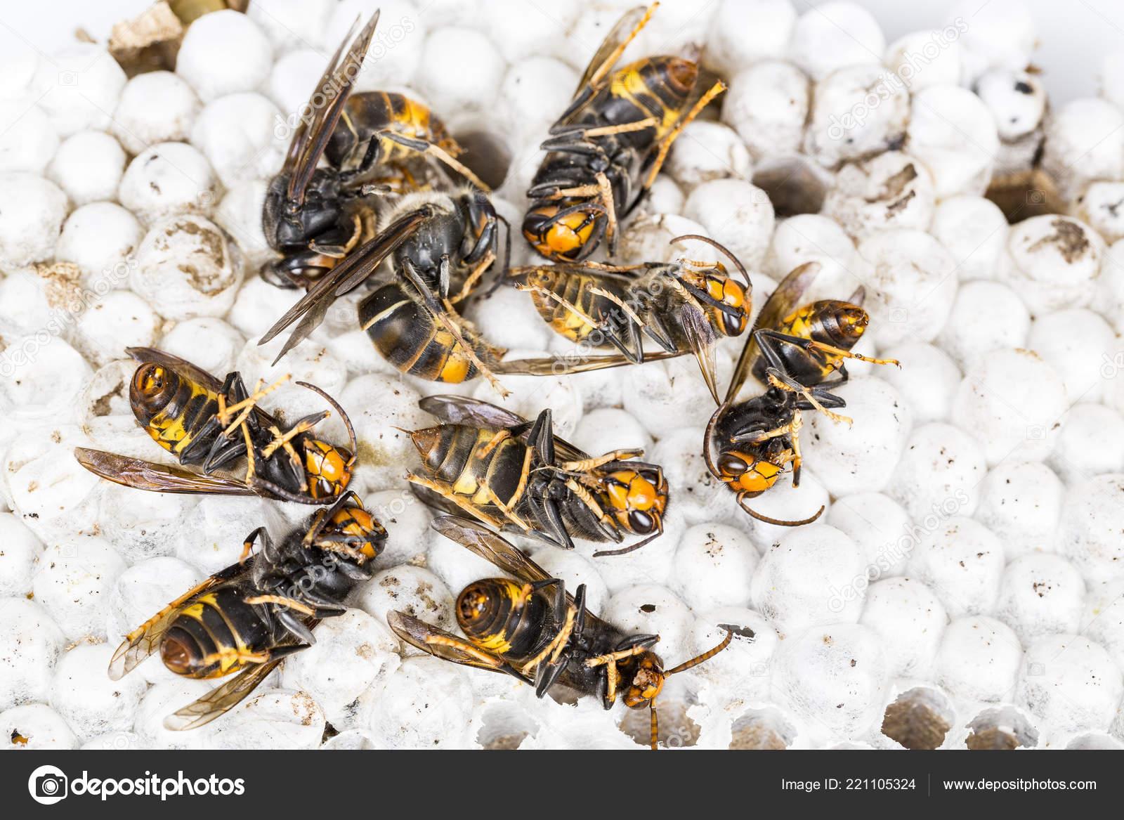 1ea2151dbd Chiuda in su della Vespa calabrone asiatico morto sul nido Nido d'ape  insetto macro. Colonia animale del veleno. Concetto di pericolo nella  natura — Foto di ...