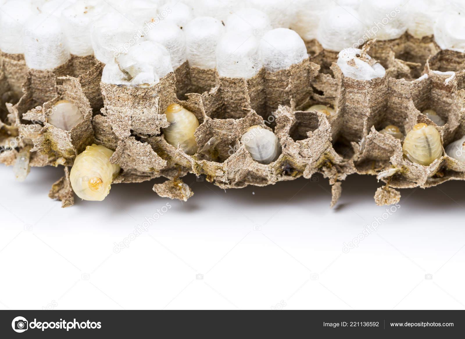 814008af6b Chiuda in su del calabrone asiatico Vespa nido Nido d'ape insetto macro con  larve della larva vive e morte su priorità bassa bianca.