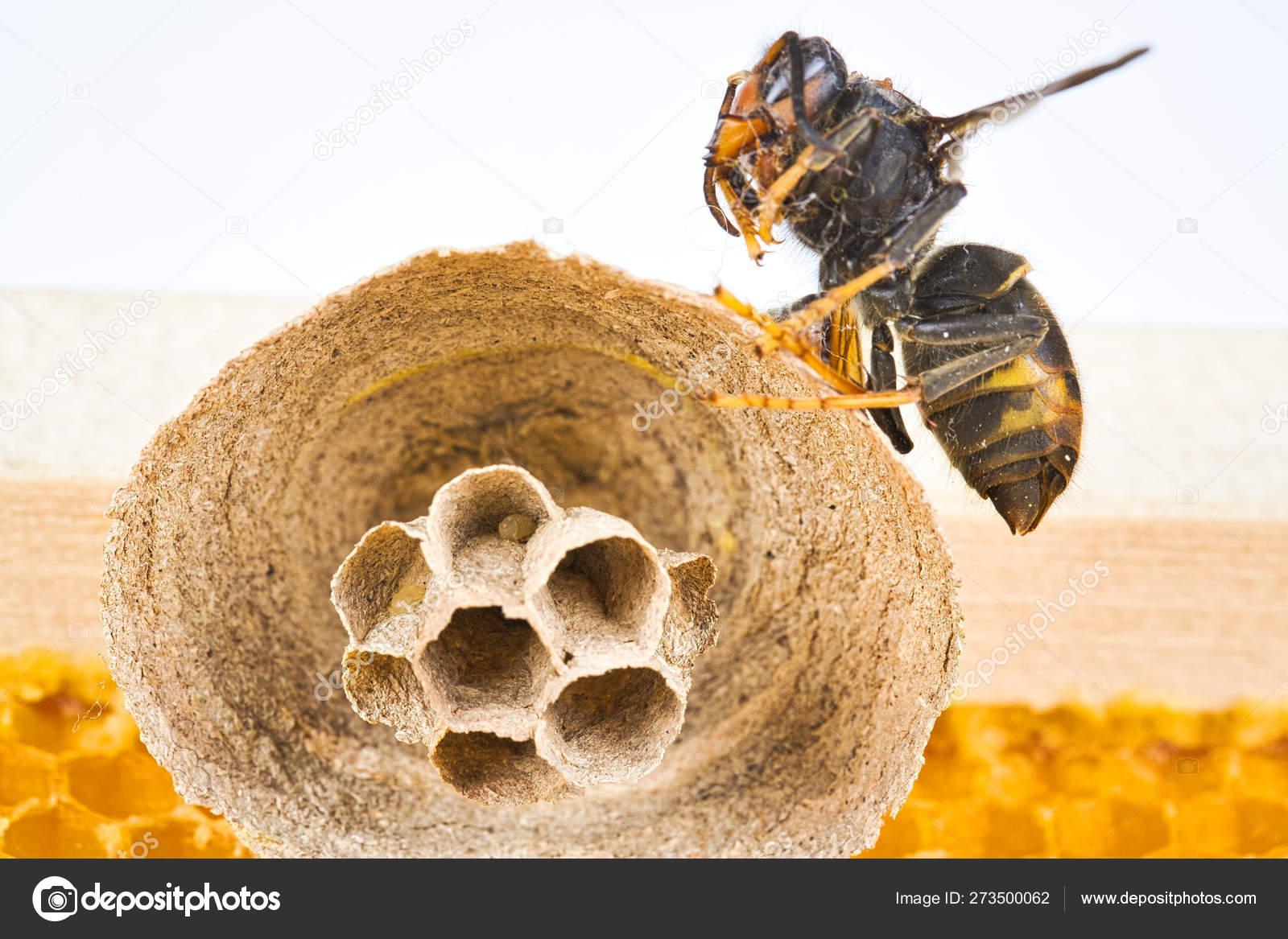 Как избавиться от шершней под крышей своими руками: эффективные ... | 1167x1600