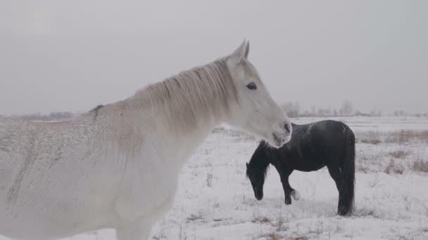 Bílý kůň stojí v oblasti zasněžené zimní