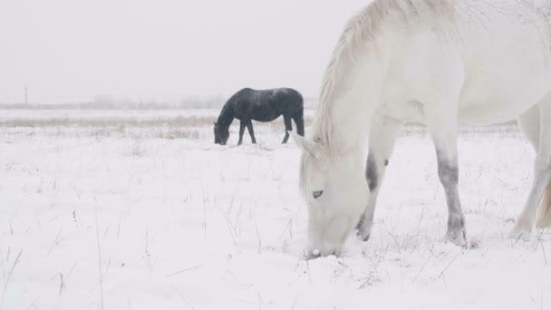 Koně jíst suché trávy, pořízené Steadicam