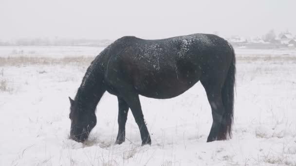Koně různých plemen se pasou v poli sníh zima, sněží