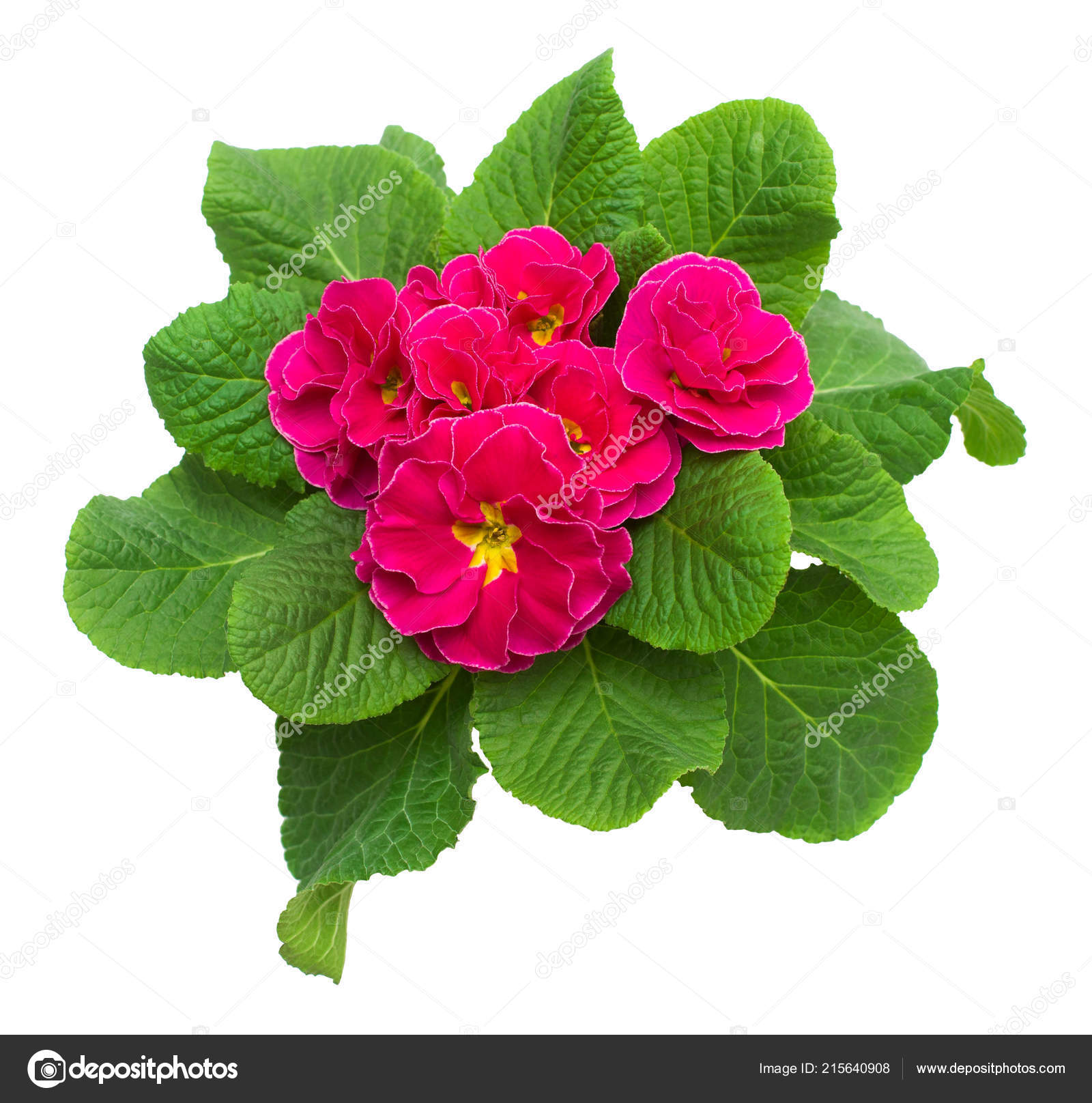 Pink Yellow Primrose Flowers Isolated White Background Flat Lay Top