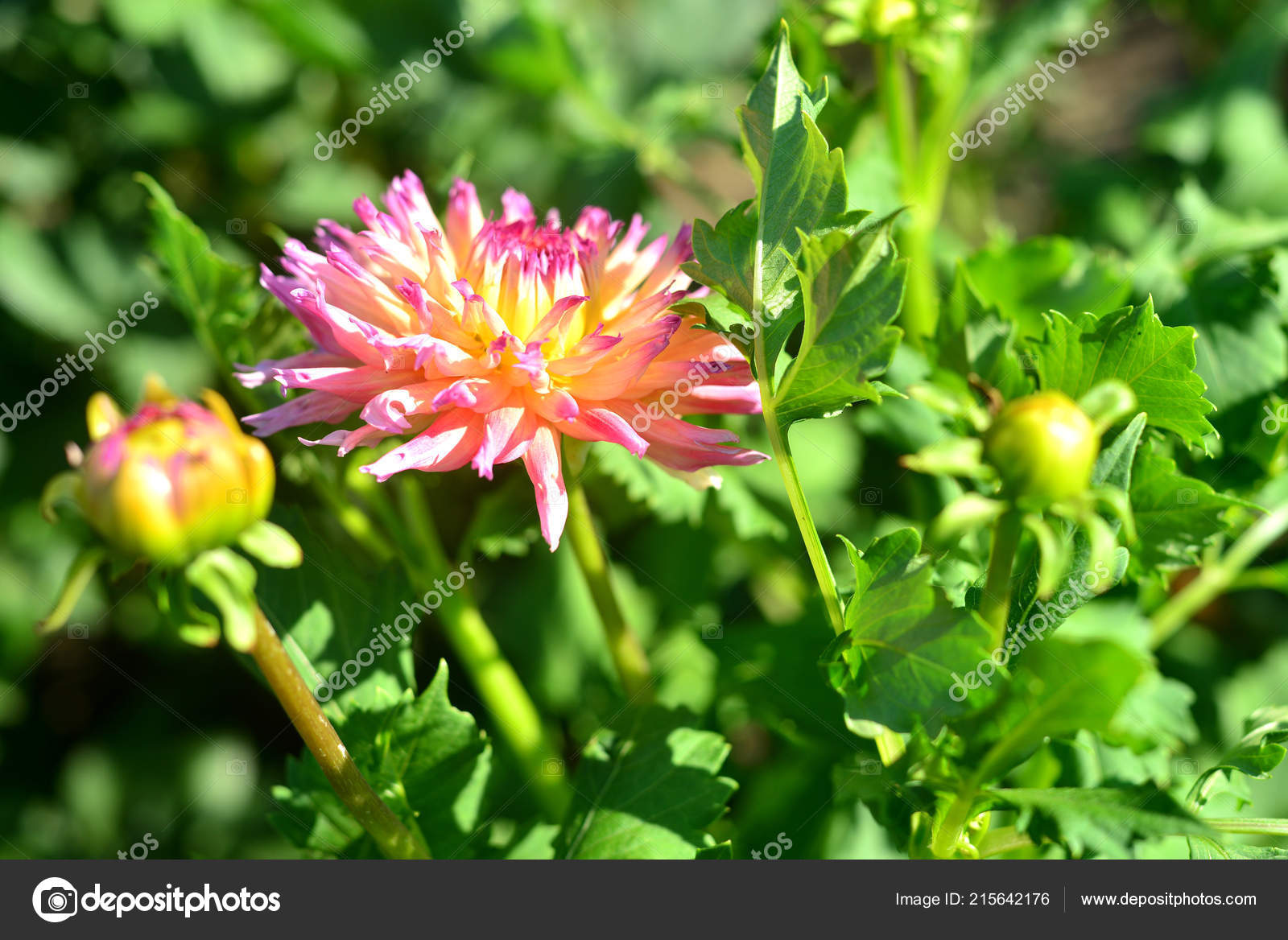Dahlia Fleur Rose Dans Jardin Sur Les Parterres Fleurs