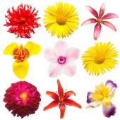 Fotografie Sada květy lilie, dahlia, tigridia, iris, daisy a Tulipán izolovaných na bílém pozadí. Jarní čas, flora. Pohled na ploché ležel, top. Láska. Den svatého Valentýna
