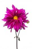 Purple dahlia flower macro isolated on white background. Botanical, concept, flora, idea. Flat lay, top view. Wedding, bride, love