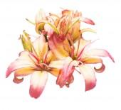 Fotografie Schöner Blumenstrauß Lilie Blume isoliert auf weißem Hintergrund. Form von einen Seestern. Flach legen, Top Aussicht