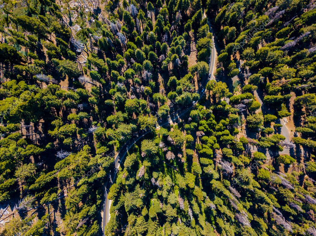 Aerial view of green Sequoia forest filled with green trees and a road going through it.